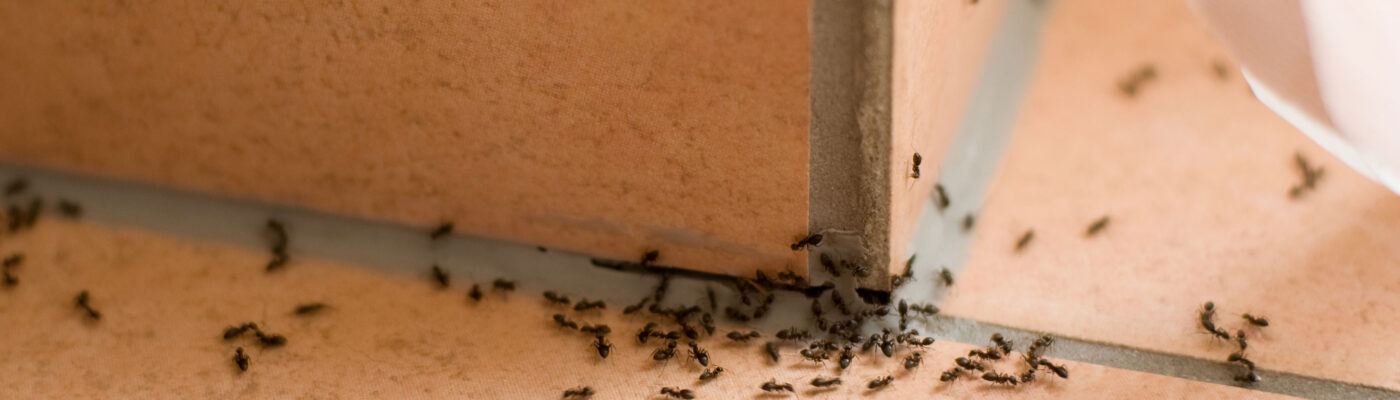 A Guide to Tackling Ant Invasions in the Home