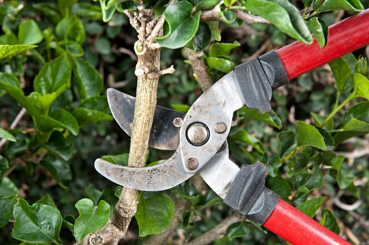 What To Do With Overgrown Shrubs: Tips For Overgrown Shrub Pruning